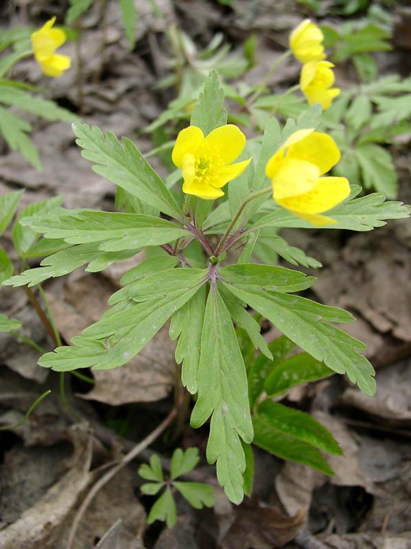 http://herba.msu.ru/images2/ranunculaceae/anemone/ranunculoides/oly_00254.jpg