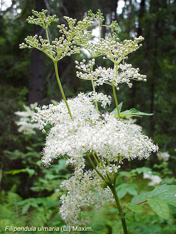 Лекарственные растения белым цветком