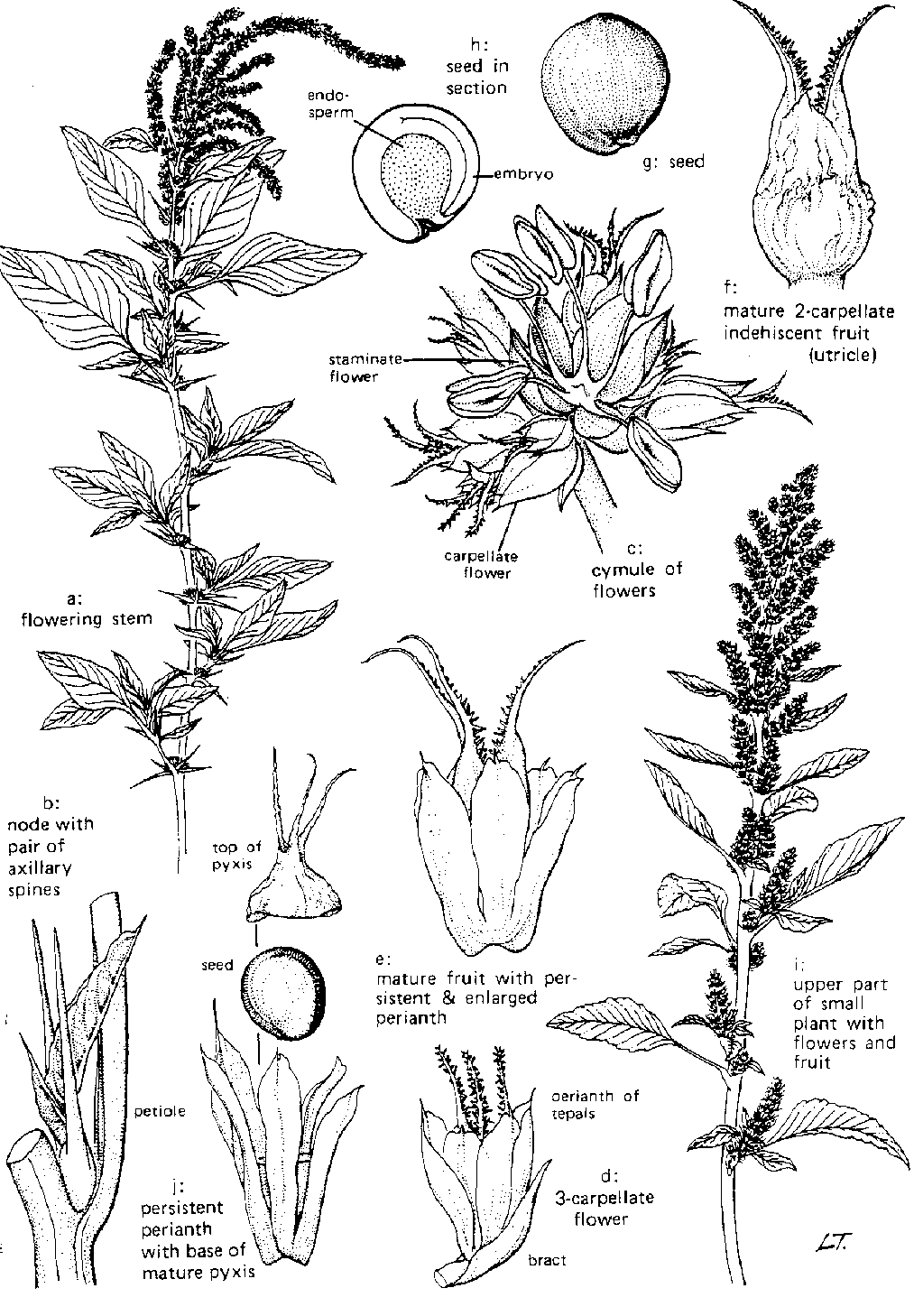 anacardiaceae diagram of the flower floral